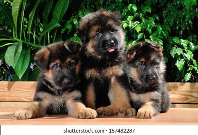 Three amazing German shepherd dog month old puppies, outdoor portrait