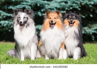 Three amazing shetland sheepdogs of different colored coat sitting outside on summer time with green and blue tree background. Perfect sheltie, lassie, small collie friends. Tricolor, sable, bi merle