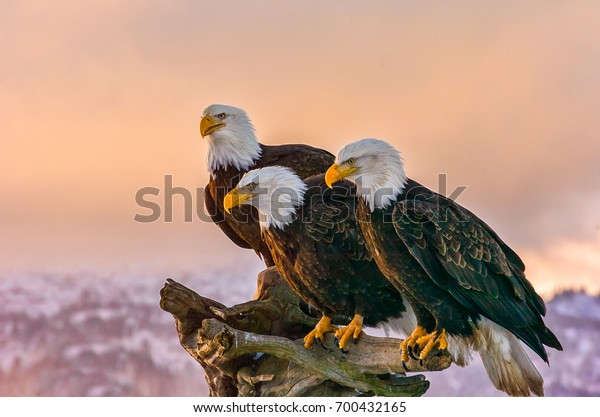 three American bald eagles perch on tree snag  against background of Alaskan Kenai mountains and Cook Inlet with late afternoon warm sun