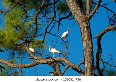 Three American White Ibis large perched in a large tall Pine Tree in bonita springs florida against a clear blue sky.