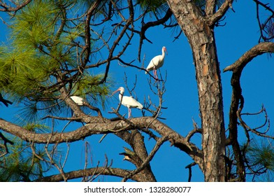 Three American White Ibis with orange beaks perched in a large tall Pine Tree in bonita springs florida against a clear blue sky.
