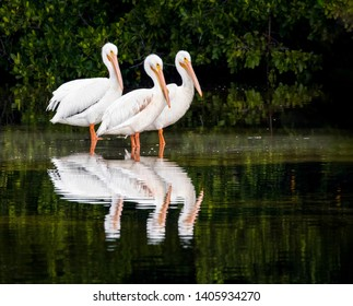 Three American white pelicans are reflected in the waters of Ding Darling National Wildlife Refuge on Sanibel Island, Florida.