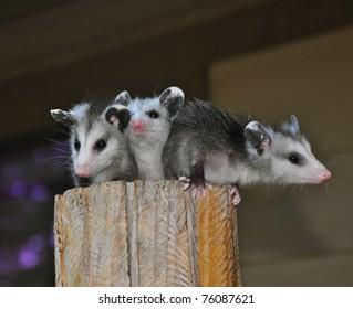Three Amigos at Large