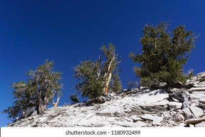 Three ancient Great Basin Bristlecone Pine trees on a bare, rocky ridge in the White Mountains of California are several thousand years old: among the world's oldest living things.