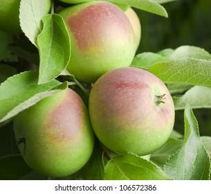 three apple on tree