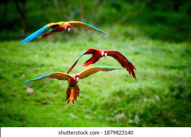 Three Ara parrots, flying  directly at camera. Bright red and blue south wild american parrots,  Ara macao, Scarlet and Green Macaw, flying with outstretched wings in tropical forest, Costa Rica.