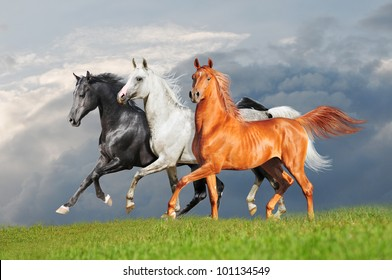 three arab horse runs free