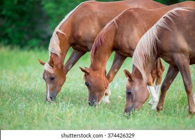 Three Arabian horses eating green grass in field.