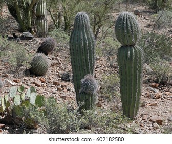 Three Arizonan saguaro cacti arranged like a family