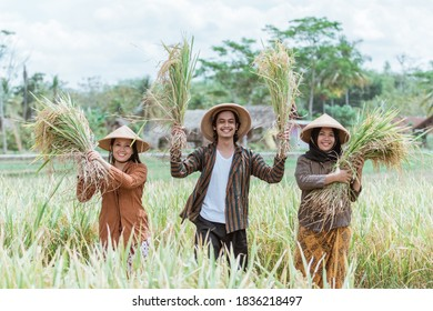 three Asian farmers holding and lifting rice plants that have been harvested after harvesting together in the fields