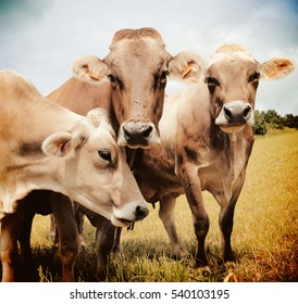 Three Aubrac cows in the meadow