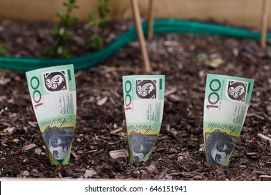 Three Australian dollars planted in garden bed