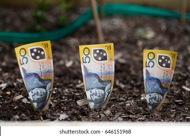 Three Australian dollars planted in garden bed