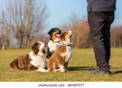three Australian Shepherd dogs sitting in front of a man