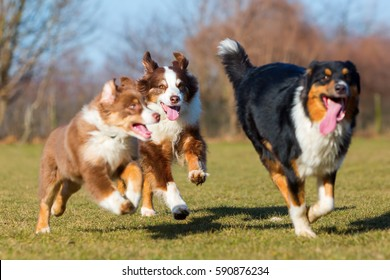 three Australians Shepherds, one puppy and two adults, running on the meadow
