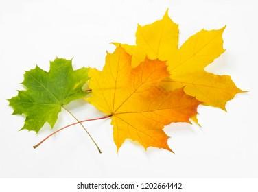 Three autumn leaves on white background