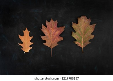 Three autumnal oak leaves on dark background with texture (flat lay)