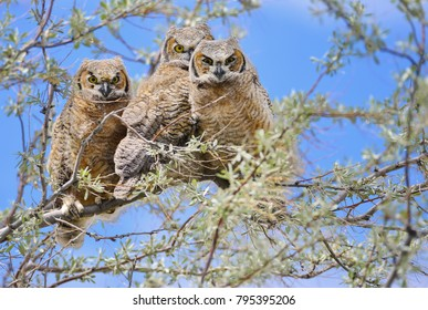 Three baby Great Horned Owls sitting on a branch in a tree in the Sring