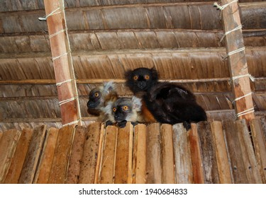 Three baby lemurs huddled between the wall and roof of a log cabin and palm fronds in Nosy Komba. Group of black lemurs, two females and one male, with round orange eyes. Babies of Eulemur macaco.