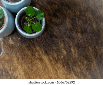 Three baby pilea peperomioides or pancake plant ( Urticaceae) on a cowhide rug