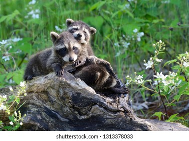 Three baby raccoons play together in a hollow log.