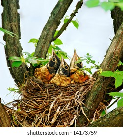 Three baby robins in their nest looking up waiting for their mother.
