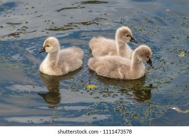 Three baby swans - Cygnets - on the water