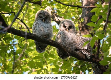 Three barred owlets nap high in a tree.