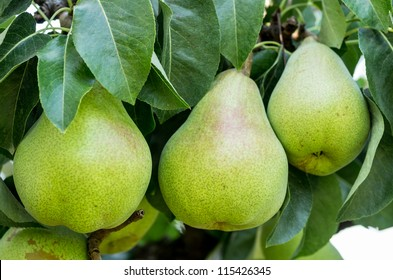 Three Bartlett pears on the tree in the orchard