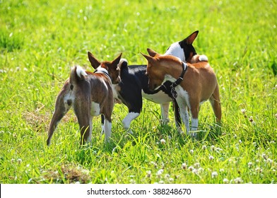 three basenji dogs sniffing each other