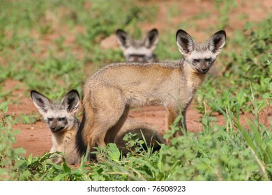 Three bat-eared foxes in bright sunlight
