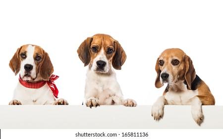 Three beagle dogs