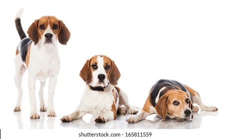 Three beagles isolated on white