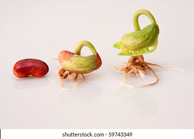 three bean sprouts showing stages of germination from seed to seedling on white background