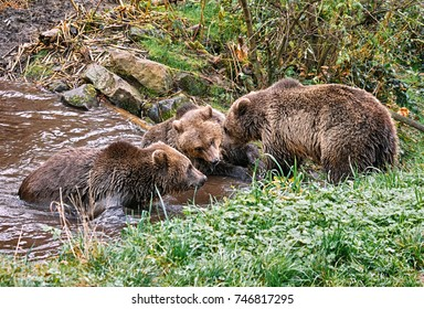Three bears looks like discussing anything in the forest near a pond, Germany.