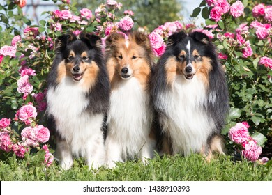 Three beautiful charming purebred shetland sheepdogs sitting outdoors on sunny summer day in blooming garden full of pink roses. Cute portrait of small sable white collies, lassie dogs in rose village