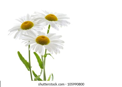 Three beautiful daisy flowers on white background