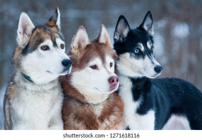 Three beautiful dogs of a breed siberian husky portrait