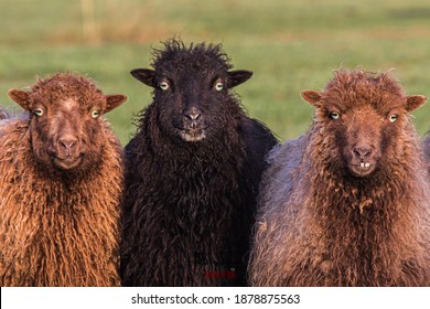 Three beautiful funny sheep in a row