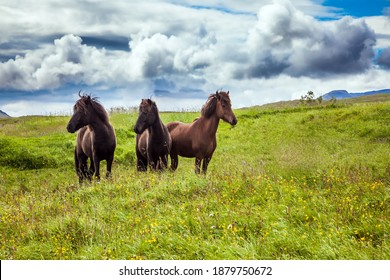 Three beautiful and kind horses of a unique Icelandic breed. Golden summer sunset. Icelandic summer tundra. Journey of dreams to Iceland. Ecological, active and photo tourism concept