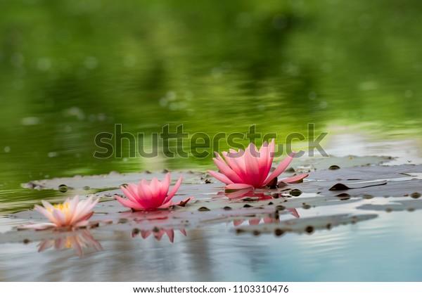 Three beautiful pink water lilies in the lake