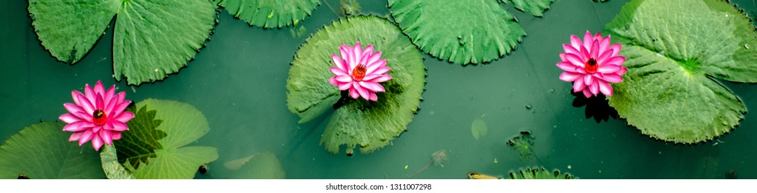Three Beautiful Pink water Lilly's from top view