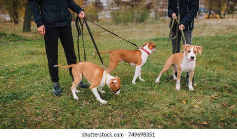 Three beautiful puppies of the American Staffordshire Terrier walk in the park with their owners. Purebred breed.