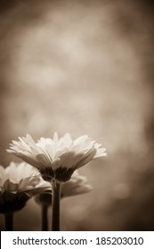 Three beautiful red gerbera and fluff . Aged photo. Sepia. Shadowed angles.