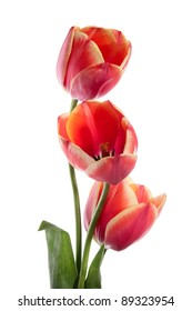 Three beautiful tulips isolated on white