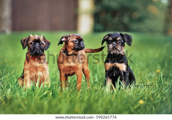 three belgian griffon puppies posing outdoors