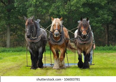 Three Belgian Heavy Horses at a field