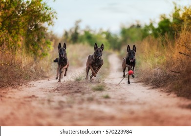 three Belgian shepherd dog run in the Park. Belgian Shepherd Malinois.