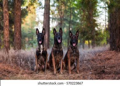 three Belgian shepherd dog sitting in the Park. Belgian Shepherd Malinois.