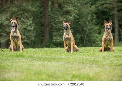 Three Belgian shepherd malinois sitting in line